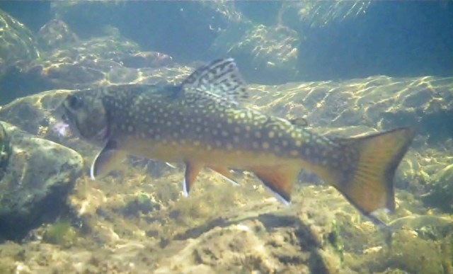 Northern New Mexico Brook Trout